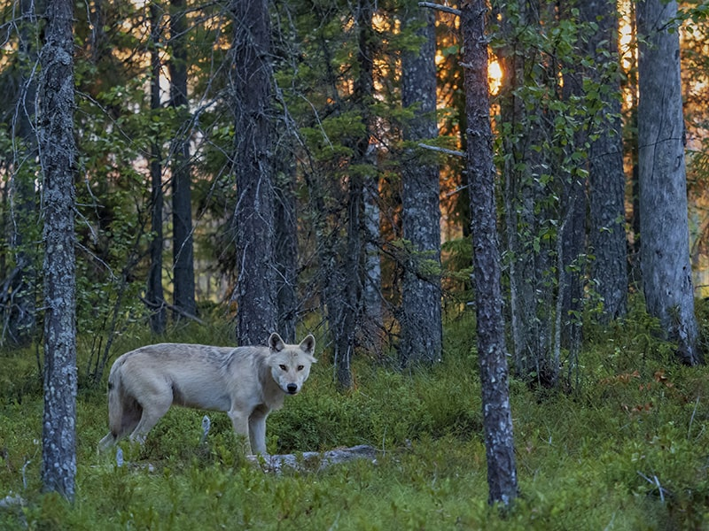 wolf photography opportunities