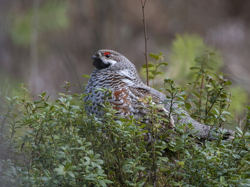 Grouse - photo opportunities