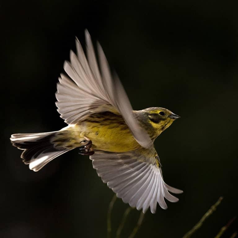 Linnut lennossa luontokuvauskurssi