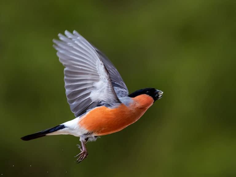 Linnut lennossa lintukuvauskurssi